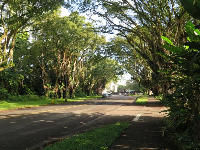 Rows of banyan trees on Banyan Drive.