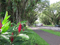 Red ginger and banyan trees on Banyan Drive.