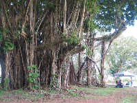 Shade tent by a banyan tree.
