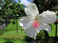 Wonderful white hibiscus with neon pink stamen.