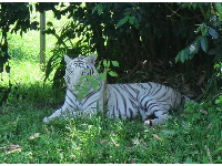 White tiger in the shade.