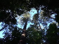 Looking up at a tall tree.