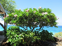 Plumeria tree and turquoise sea.