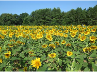 Sunflowers with deep green trees behind.