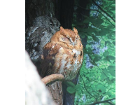 Eastern Screech Owl- see the other owl behind him!