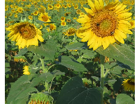 Sunflowers in July.