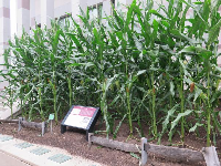 Corn, growing outside the museum for an exhibit on North Carolina agriculture.