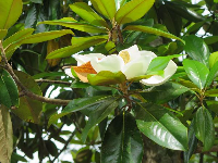 Magnolia flower and glossy leaves.