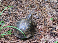 Box turtle by the path!