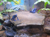 Blue frogs!