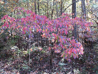 Pink leaves in the forest in November.