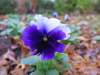 Pansy.
