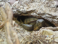 Gopher tortoise peeking out from his little cave.