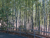Bamboo along the walkway.