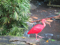 Scarlet Ibis in the forest aviary.