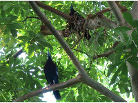 Victoria Crowned Pigeons in a tree.