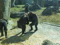 Gorillas interacting.