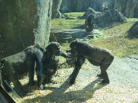 Big discussion in the gorilla exhibit.