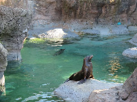 California Sea Lions.