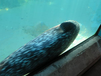Harbor Seal with speckled coat.