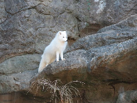 Arctic fox. I love this guy.