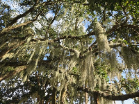 Spanish moss hanging from a tree.