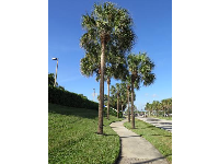 Winding sidewalk under palm trees, along Donald Ross Rd, on the way to the beach from the hotels.