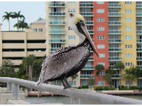 Pelican on the handrail!