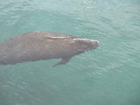 A manatee taking a breath, right by us at the railing.