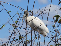 Woodstork in a tree.