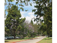 Purple trees in the Summer at Camino Real Park.