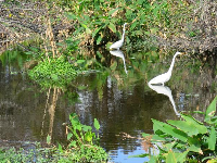 White egrets honing in on a meal.