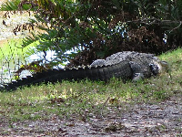 Alligator on the grassy bank.