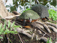 Long-neck turtle!