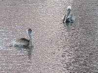 Pelicans at the South Cove Natural Area.