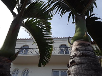 I love these fat palms outside the Versace mansion.