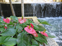 Anthurium and fountain.