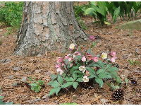 Hellebore flowers and pine cone.