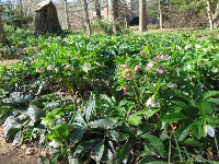 Hellebores galore, along the path, in February.