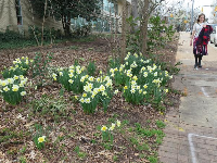 Daffodils along Hillsborough Street, at the end of February.