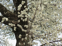 Blossoming tree, in February.