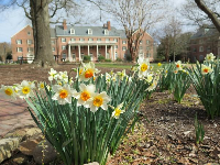 Daffodils along Raleigh Rd, across from Coker Arboretum.