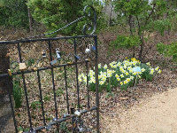 Gate with locks, and daffodils.