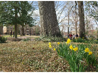 Yellow daffodils on campus, in February.