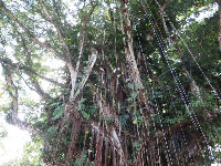 Looking up at a banyan tree.