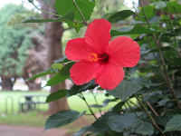 Red hibiscus.