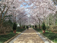 Row of cherry blossom trees at the entrance to the garden, mid-March.