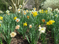 Daffodils of many colors!!