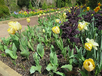 Tulips, daffodils, and kale, March 16.