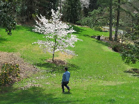 Blossoming tree catching the light as a man walks down the hill.